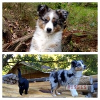 Australian Shepherd BLue Merle For Sale